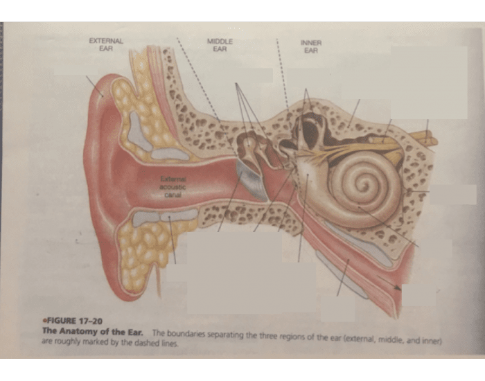 Ear anatomy game