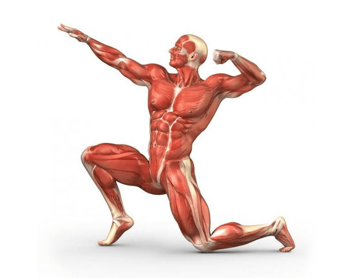 The EPIC Human Muscular System