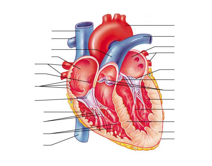 Anatomy Of The Human Heart Internal Structures Purposegames
