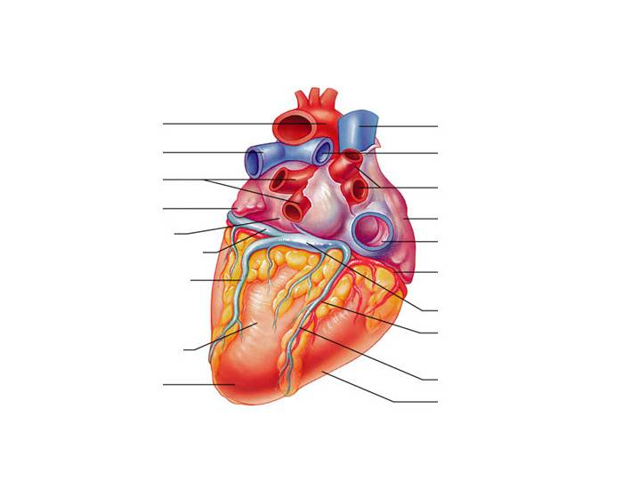 Anatomy of the Human Heart Posterior View PurposeGames