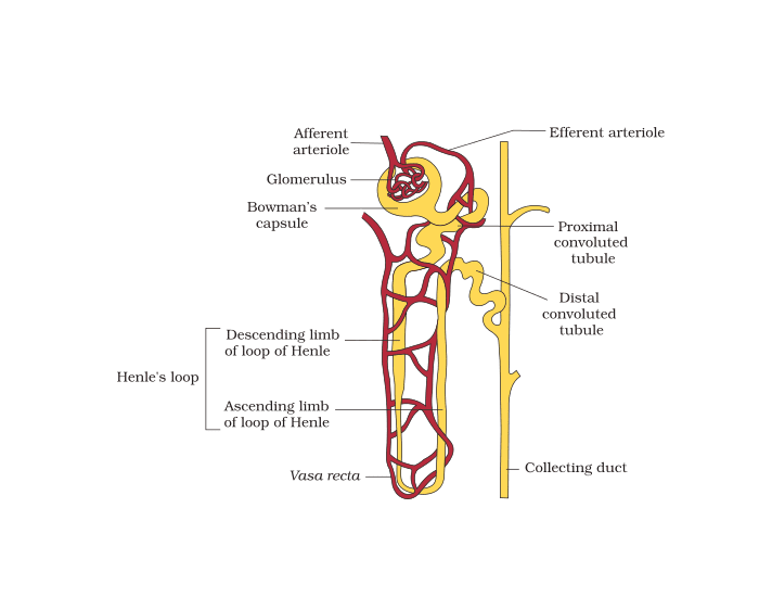 Game statistics parts of the nephron purposegames parts of the nephron ccuart Choice Image