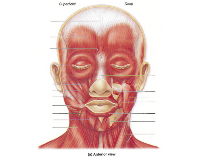 Facial and neck muscles