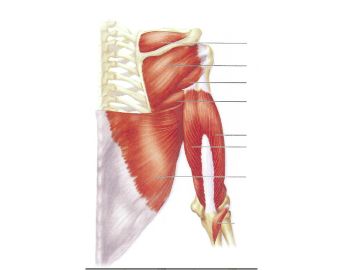 Posterior Muscles of the Shoulder and Arm