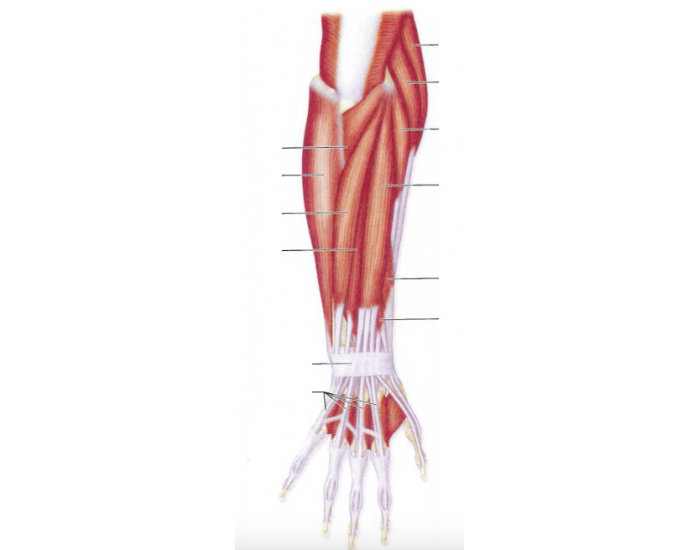 Muscles of the Posterior Lower Arm
