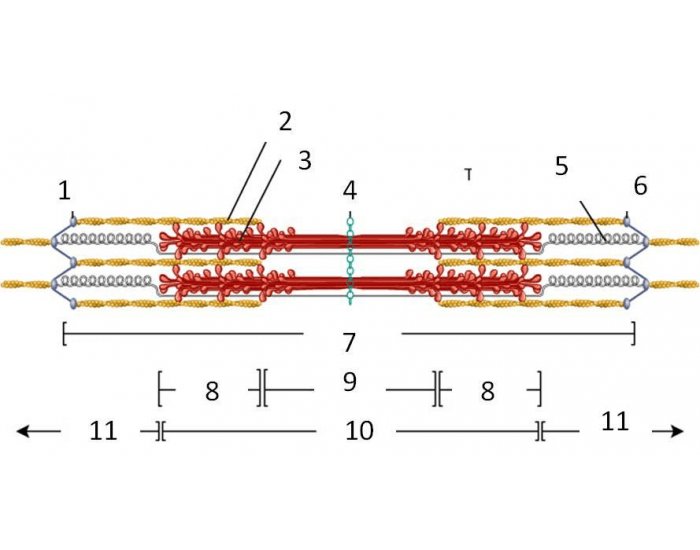 Label the components and regions of a Sarcomere