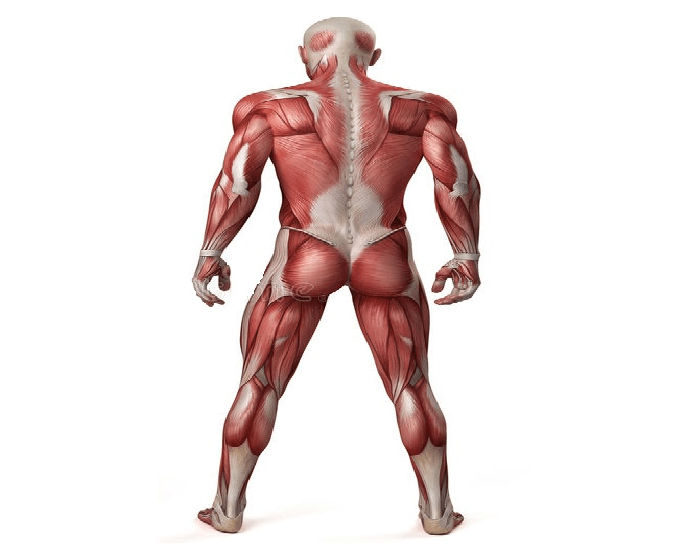 Muscle Recognition