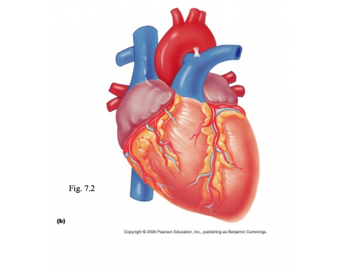 Game Statistics - External Gross Anatomy of the Heart: Anterior View ...