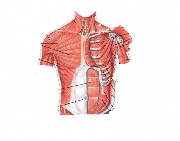 Muscles Of The Chest And Abdomen Labeling