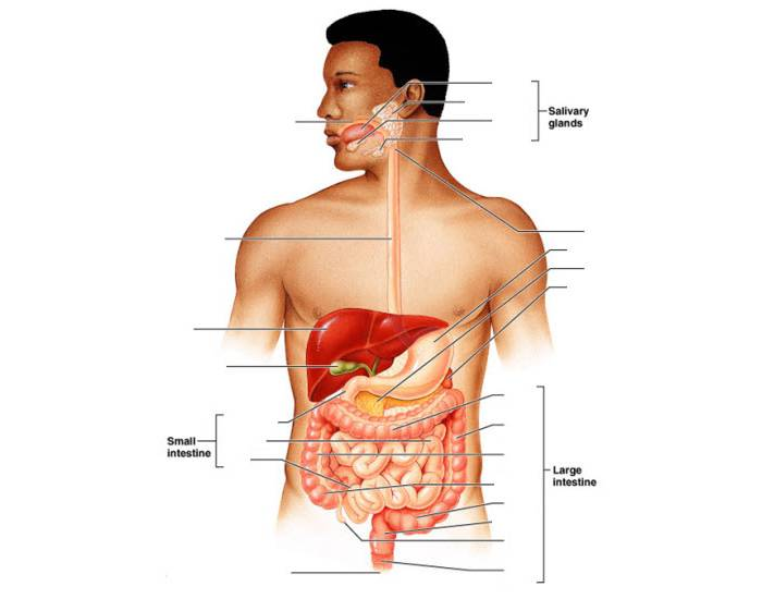 Digestive System - The Digestive Tract