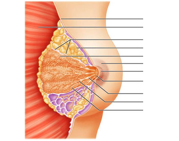 Anatomy Of The Breast Frontal View Lecture 24