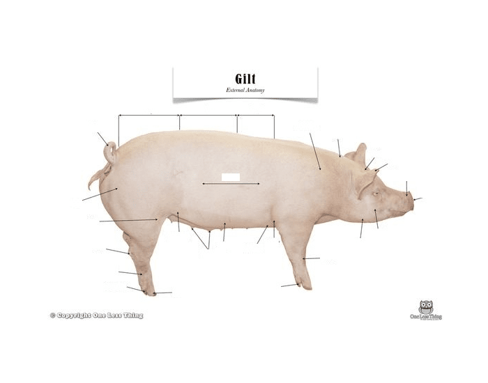 swine external anatomy - PurposeGames