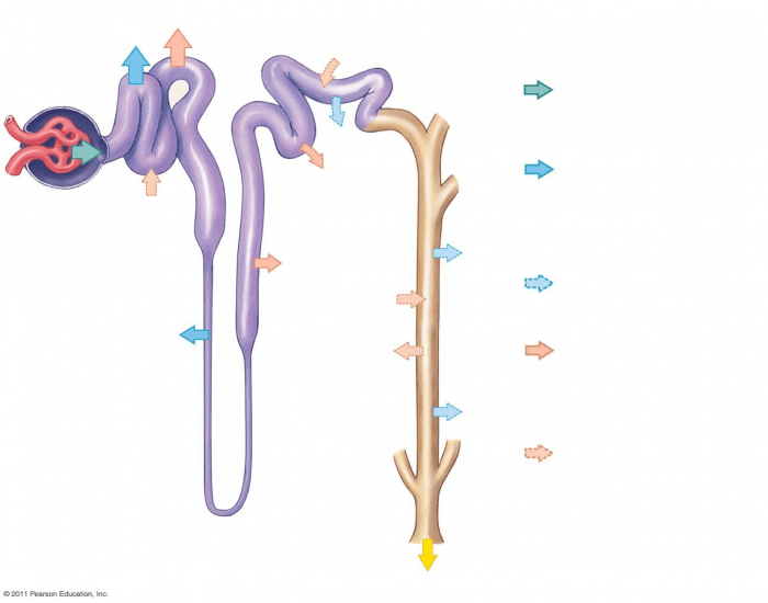 Nephron and collecting tube