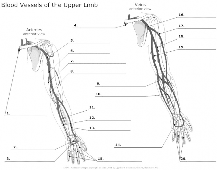arteries and veins to shoulder and neck