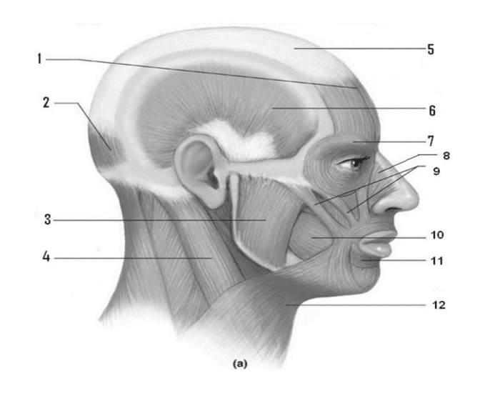 Muscles of mastication and facial expression