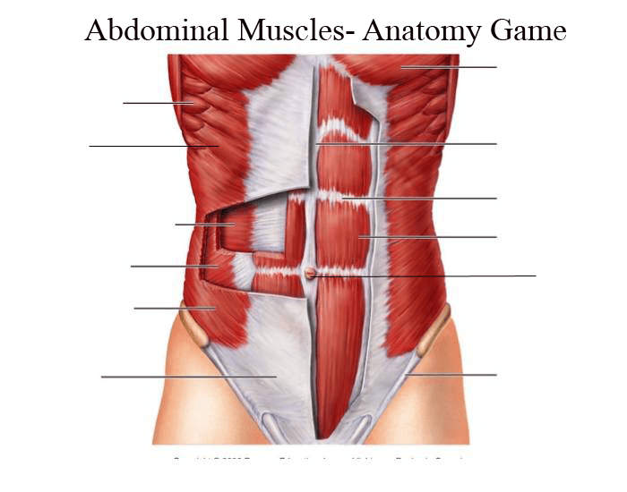 Abdominal Muscles Anatomy Game Purposegames