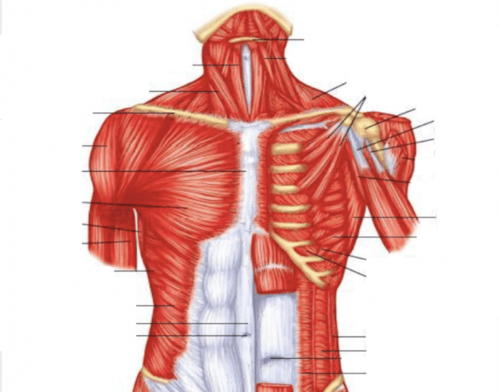 Game Statistics Superficial And Deep Muscles Of The Upper Torso