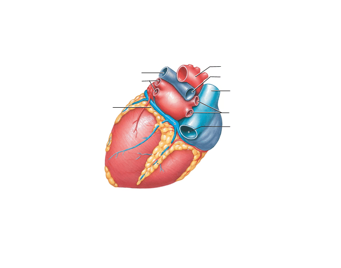 Game Statistics Posterior View Of Superficial Anatomy Of The Heart