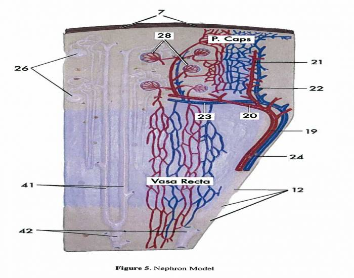 Game statistics nephron model ii purposegames nephron model ii ccuart Gallery