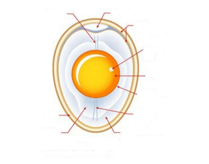 Egg Parts and Functions