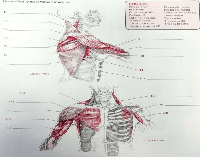 Shoulder muscle #2 ID