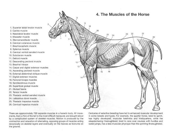 Game Statistics - Horse Muscle Anatomy Superficial Latin - PurposeGames