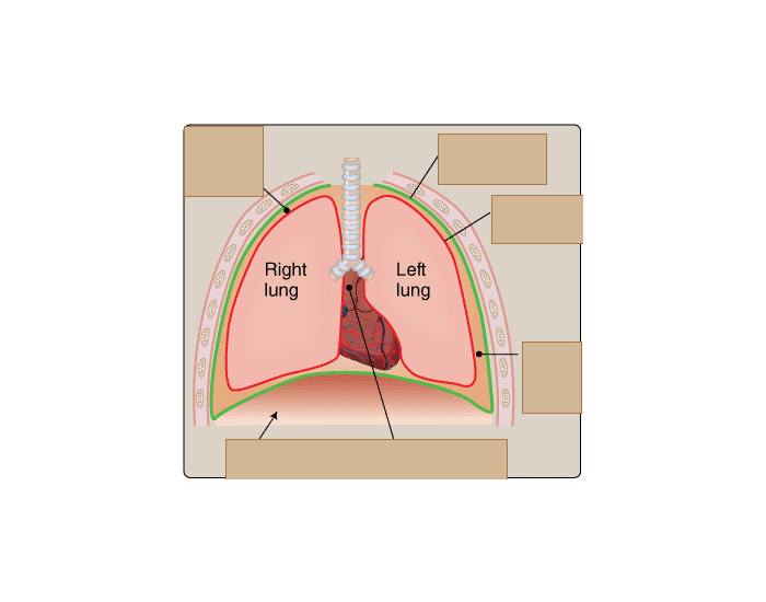 Membranes of the pleural cavity