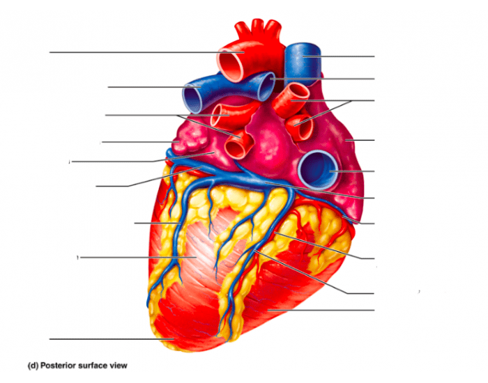 Labeling the Heart- Posterior Surface View