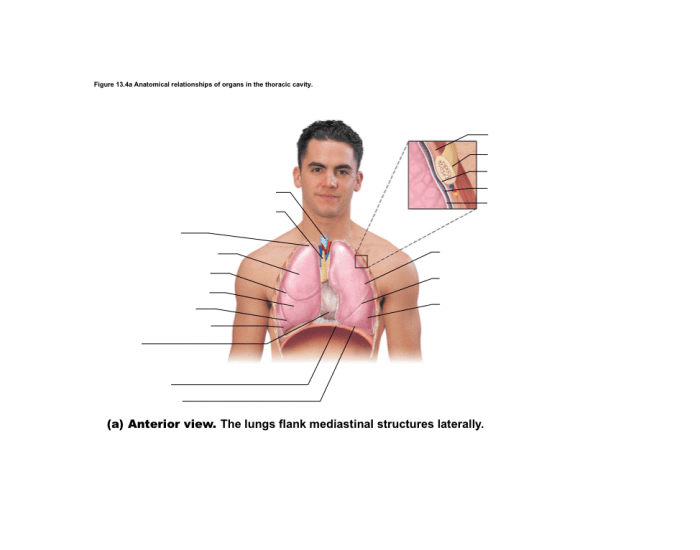 relationships of organs in the thoracic cavity