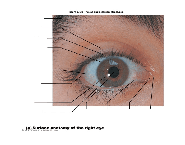 151 Surface Anatomy Of The Right Eye Purposegames