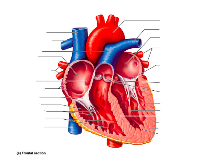 Labeling the Heart- Frontal Section