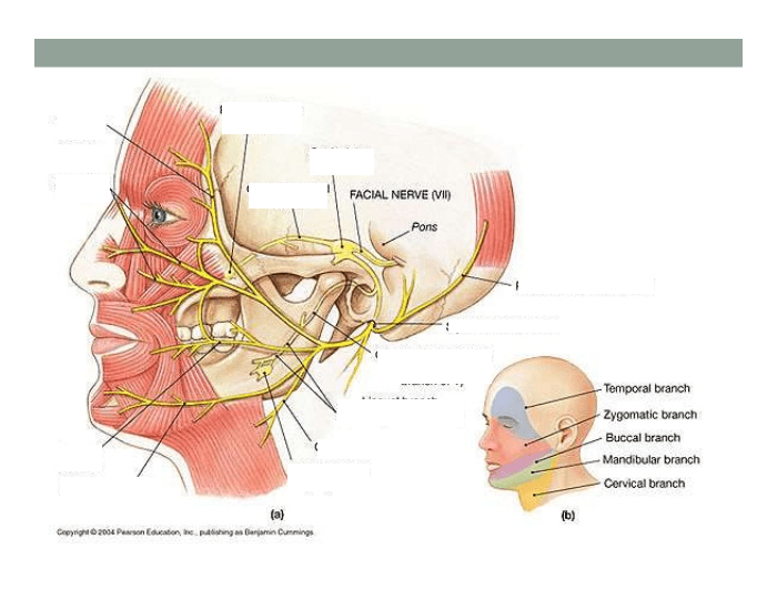 Game Statistics Name Branches Of The Facial Nerve Purposegames