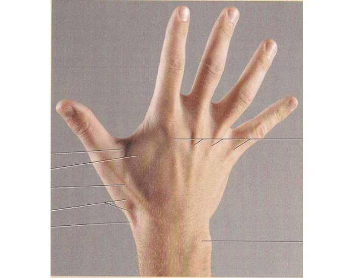 Ipap A U0026p I Test V Surface Anatomy Hand Posterior