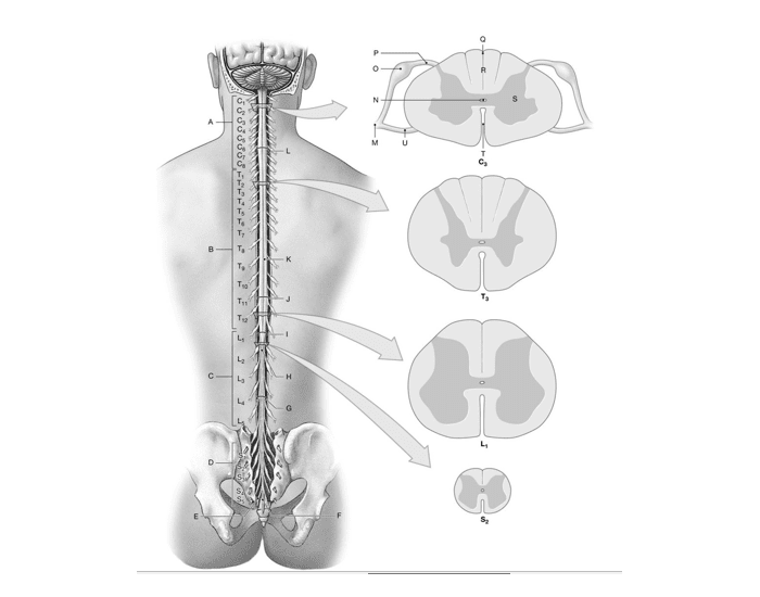 Game Statistics Gross Anatomy Of The Spinal Cord Purposegames