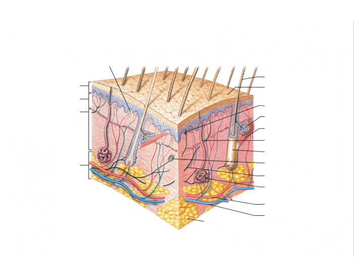 Components of the Integumentary System