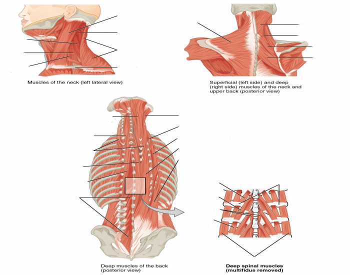 Neck And Spine Muscles Purposegames