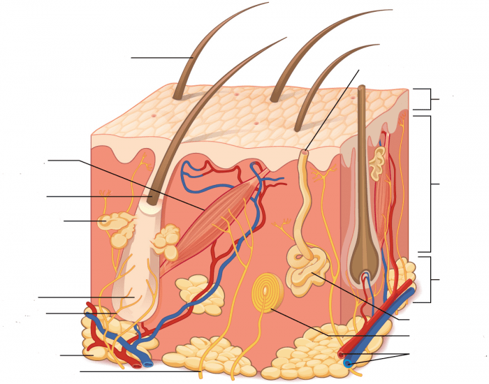 Integumentary System, skin structure