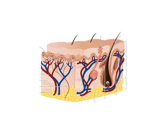 Name the parts of the human skin