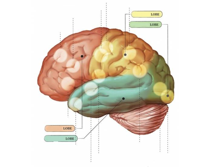 Brain Parts and Functions - PurposeGames