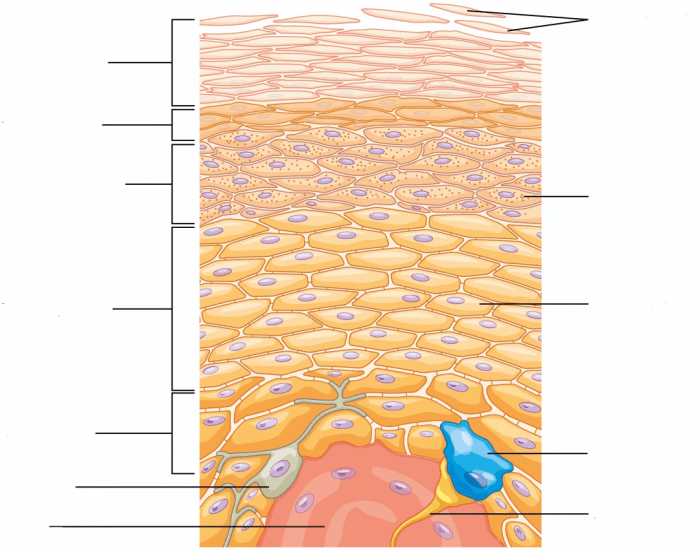 Labeling the Layers of the Epidermis