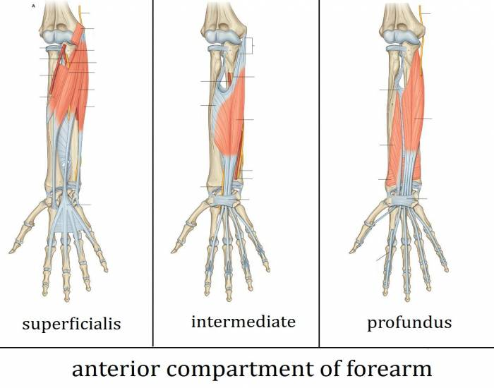 Anatomy of the anterior compartment of the forearm - PurposeGames