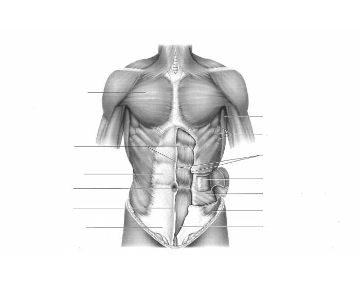 Thoracic muscles, anterior view. Superficial muscles.