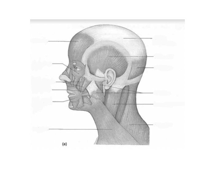 Muscles of Head