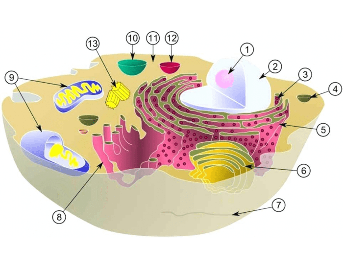 Organelles of an Animal Cell