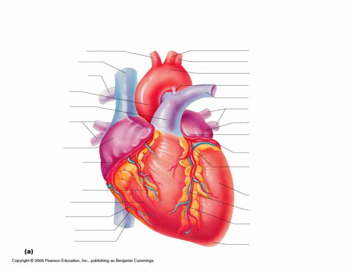 Heart Anterior Gross Anatomy Purposegames
