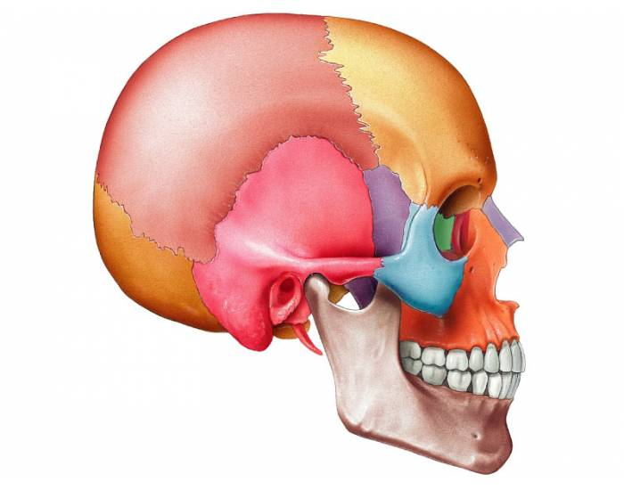 The adult skull lateral view purposegames ccuart Images