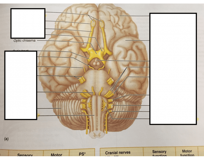 Inferior Brain Structure and Cranial Nerves