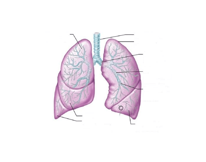 Can you label the lungs?