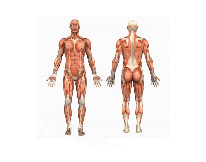 Human Muscle Groups