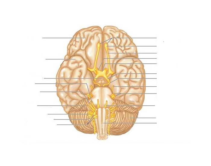 Cranial nerves label purposegames ccuart Images