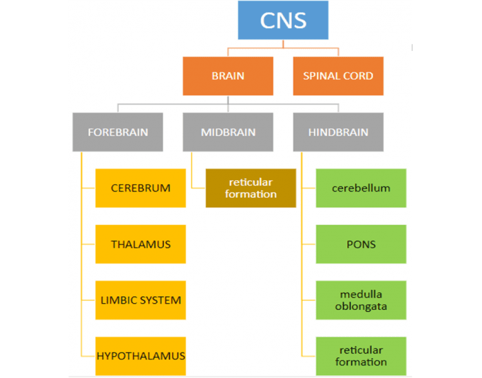 Functional Divisions of the Nervous System: CNS